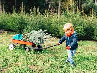 Image of little boy pulling a Christmas Tree