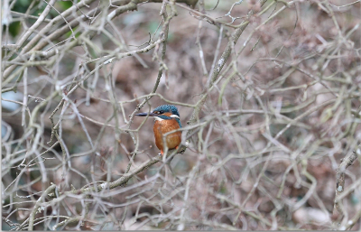 Image of a Kingfisher at the Duke of Northumberland River riverbank.