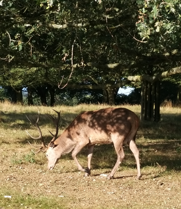 Image of a Deer in Richmond Park