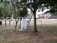 Image of the GreenSpace 360 oboriculture team removing OPM from tree in a local park.