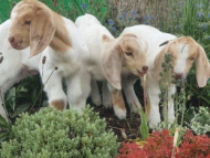 Image of 3 goat kids born at Bedfont Lakes.