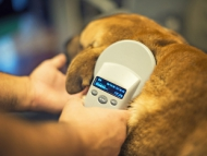 A dog being micro chipped